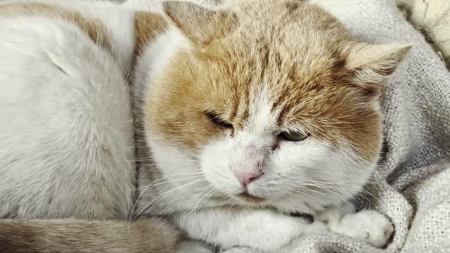 素敵な猫の睡眠 - ショートヘア種の猫点の映像素材/bロール