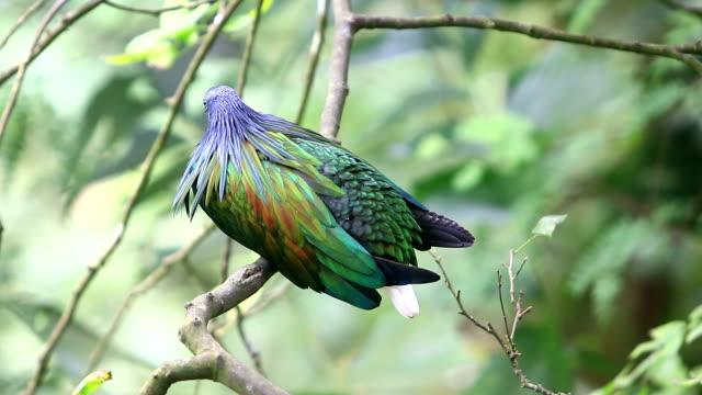 Nicobar pigeon Nicobar dove
