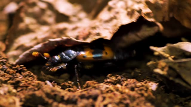 nicrophorus quadripunctatus kraatz crawling out from underground, gangwon province, south korea - animal antenna stock videos & royalty-free footage