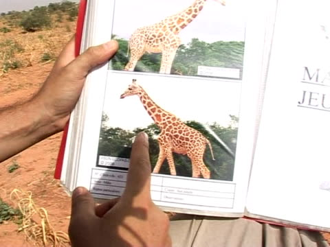 niger is home to the last remaining giraffes in the whole of western africa locals are now partners in the protection of the endangered animals... - hooved animal stock videos and b-roll footage