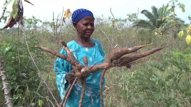 Nigeria worlds leading cassava producer is seeking to boost its annual yield by overcoming nagging challenges which are hampering it from reaching...