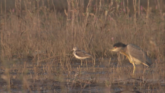 a night heron vocalizes and scratches its neck as it stands in a marsh with another bird. - クサシギ属点の映像素材/bロール