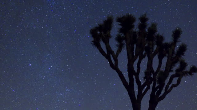 CU T/L  Night sky with stars above large yucca palm tree / Joshua Tree National Park, CA, United States