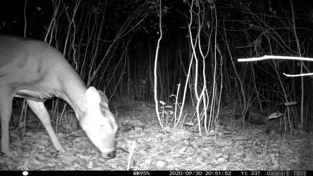 vidéos et rushes de night time wildlife video from trail camera with sound - audio disponible en ligne