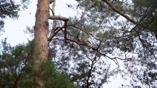 a nightingale bird and the nest on geumgang pine tree / uljin-gun, gyeongsangbuk-do, south korea - nightingale bird stock videos & royalty-free footage