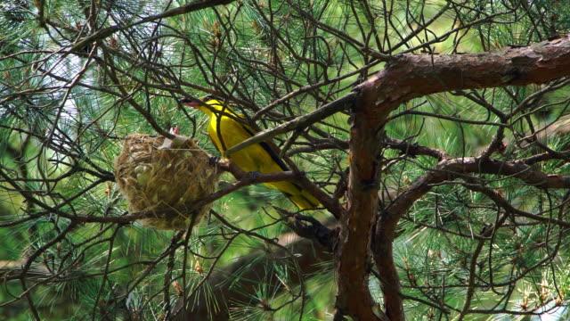 a nightingale bird feeding its babies in the nest at uljin geumgang pine forest / uljin-gun, gyeongsangbuk-do, south korea - nightingale bird stock videos & royalty-free footage
