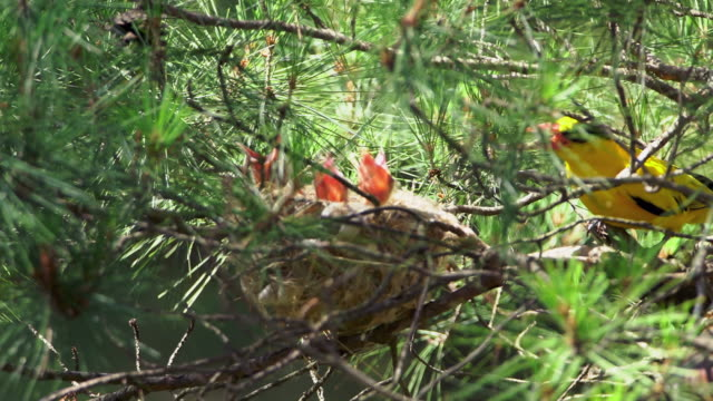 a nightingale bird feeding its babies on the nest in uljin geumgang pine forest / uljin-gun, gyeongsangbuk-do, south korea - perching stock videos & royalty-free footage