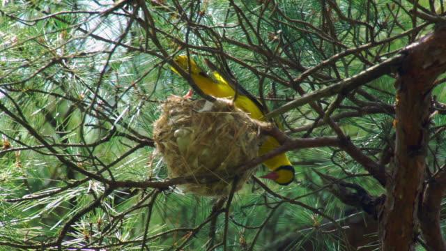 a nightingale bird protecting the nest in uljin geumgang pine forest / uljin-gun, gyeongsangbuk-do, south korea - nightingale bird stock videos & royalty-free footage