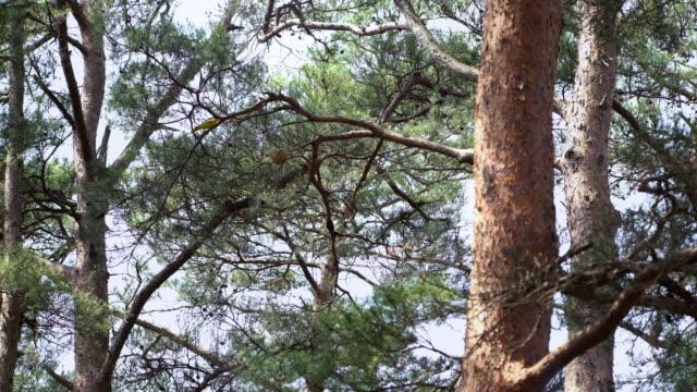 a nightingale bird protecting the nest in uljin geumgang pine forest / uljin-gun, gyeongsangbuk-do, south korea - スズメ亜目点の映像素材/bロール
