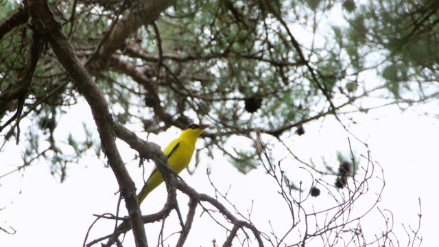 a nightingale bird with food in uljin geumgang pine forest / uljin-gun, gyeongsangbuk-do, south korea - nightingale bird stock videos & royalty-free footage