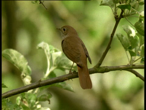 nightingale sings on branch in english wood, then flies off - nightingale stock videos & royalty-free footage