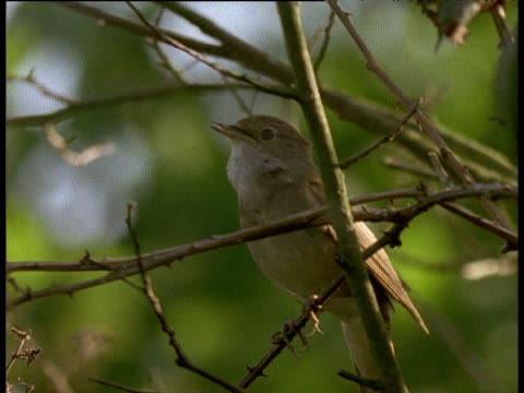 nightingale sings on branch in english wood - nightingale stock videos & royalty-free footage