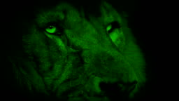 Nightvision Lion Face Looking Around