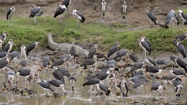 nile crocodile and many marabou storks at Mara River