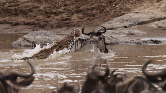 nile crocodile (crocodylus niloticus) attacks wildebeest crossing river, kenya - wildebeest stock videos & royalty-free footage