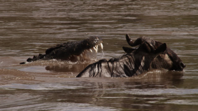 nile crocodile (crocodylus niloticus) attacks wildebeest during river crossing, kenya - wildebeest stock videos & royalty-free footage
