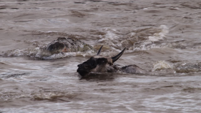Nile crocodile (Crocodylus niloticus) attacks wildebeest during river crossing, Kenya