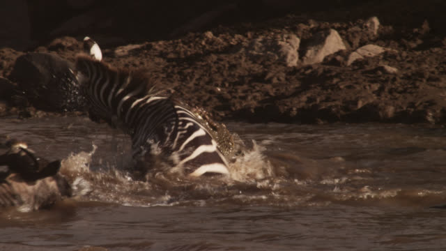 Nile crocodile (Crocodylus niloticus) attacks zebra during river crossing, Kenya