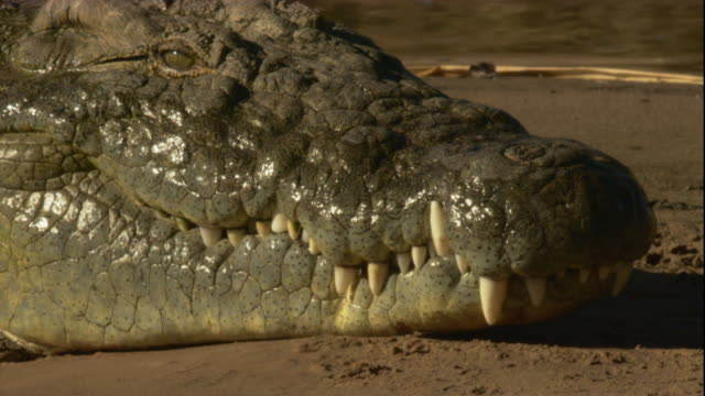 a nile crocodile basks in the sun on a sandy river bank. available in hd. - resting stock videos & royalty-free footage