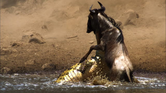 slomo ms nile crocodile biting the neck of a wildebeest in a shallow river - totschlag stock-videos und b-roll-filmmaterial