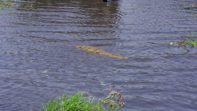 nile crocodile(crocodylus niloticus)  chobe national park botswana - one animal stock videos & royalty-free footage