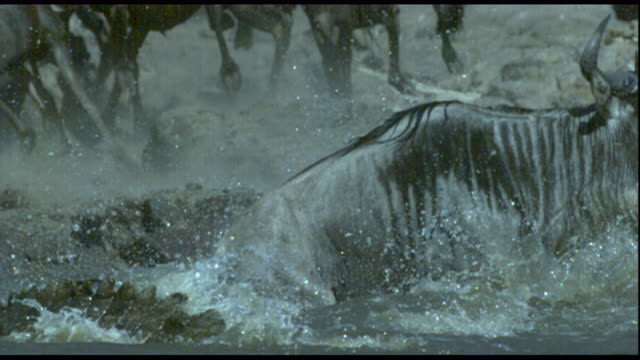 A Nile crocodile drags a wildebeest into a river in Tanzania. Available in HD.