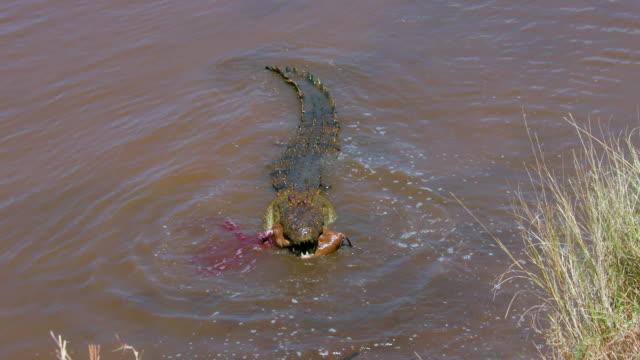 Nile Crocodile Eats Thomson'S Gazelles In Mara River Maasai Mara  Kenya  Africa