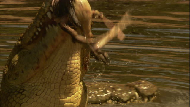 A Nile crocodile feeds on a wildebeest in a river. Available in HD.