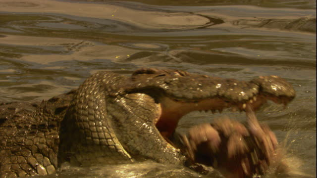 A Nile crocodile feeds on wildebeest in a river. Available in HD.