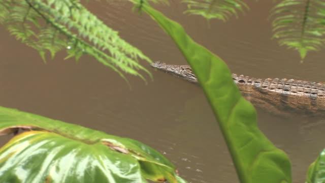 ms, ha, pan, nile crocodile (crocodylus niloticus) floating down rain forest stream, toamasina province, madagascar - マダガスカル点の映像素材/bロール