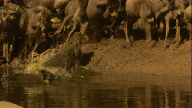 A Nile crocodile grabs a wildebeest from a riverbank. Available in HD.