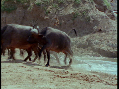 vidéos et rushes de nile crocodile grabs buffalo by the throat, other buffalo watch the struggle - troupeau