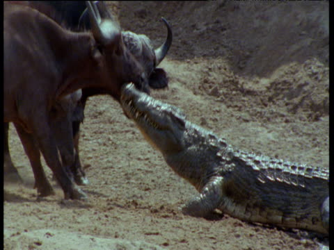 nile crocodile holds buffalo by the throat, buffalo backs off until crocodile lets go and returns to the water - 咽頭点の映像素材/bロール