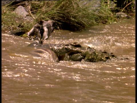 nile crocodile holds zebra in water, second crocodile bites at zebra's neck, mara river, kenya - 噛む点の映像素材/bロール