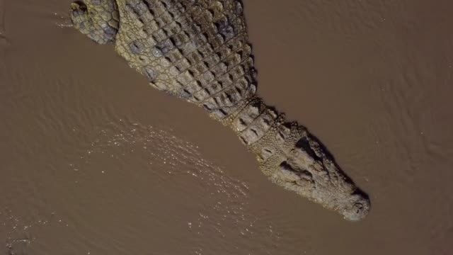nile crocodile in talek river, maasai mara, kenya, africa - safari animals stock videos & royalty-free footage