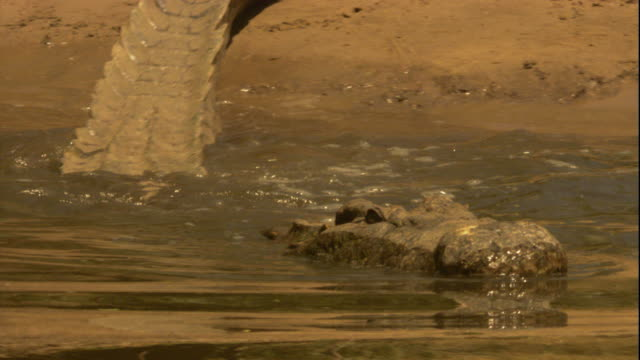 A Nile crocodile lowers its body slowly into the Nile River. Available in HD.