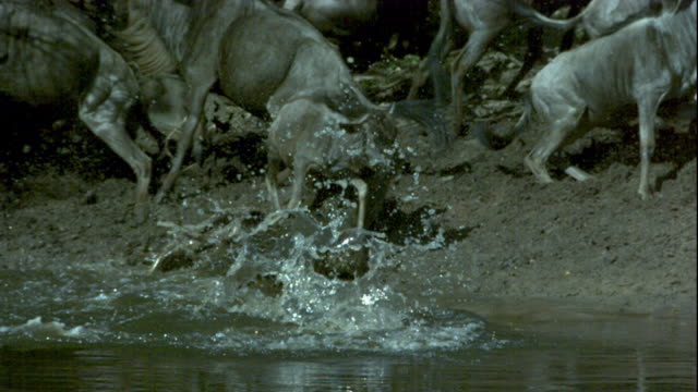 A Nile crocodile lunges at a wildebeest on a riverbank. Available in HD.