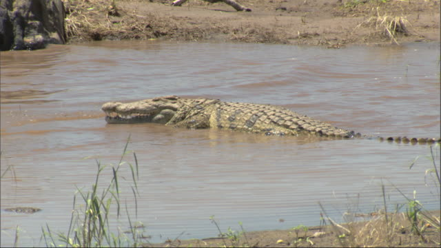 Nile Crocodile (Crocodylus niloticus) lying in water at edge of river, Kenya, Africa