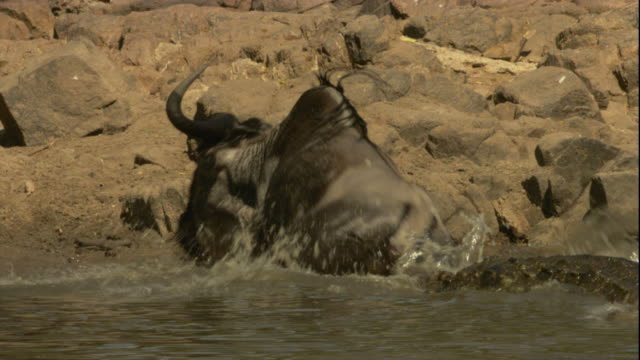 a nile crocodile pulls a wildebeest into the river. available in hd. - crocodile stock videos & royalty-free footage