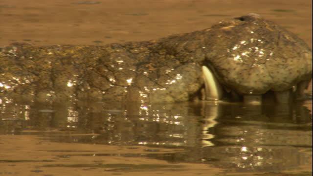 vídeos y material grabado en eventos de stock de a nile crocodile raises its mouth briefly out of the water. available in hd. - nariz de animal