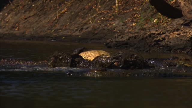 slomo ms nile crocodile rolling in shallow river - クロコダイル点の映像素材/bロール