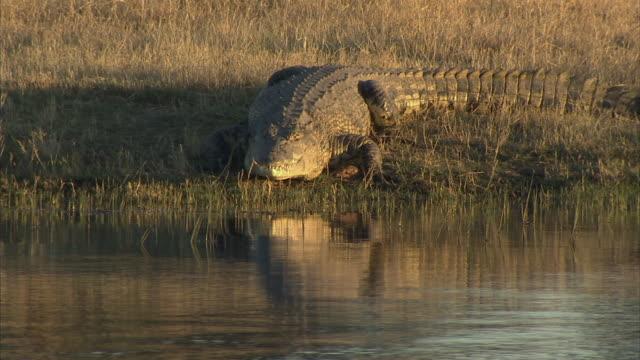 MS, Nile Crocodile (Crocodylus niloticus) slipping into river and diving, Okavango Delta, Botswana