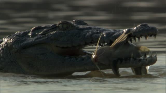 nile crocodile (crocodylus niloticus) snaps at catfish in jaws, luangwa, zambia - zuschnappen stock-videos und b-roll-filmmaterial