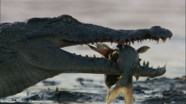 vídeos de stock, filmes e b-roll de nile crocodile (crocodylus niloticus) snaps at catfish in jaws, luangwa, zambia - dente animal