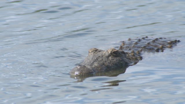 nile crocodile south africa - one animal stock videos & royalty-free footage