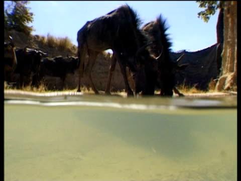Nile crocodile stalks and grabs wildebeest at Mara river crossing