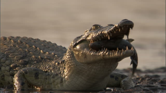 nile crocodile (crocodylus niloticus) swallows catfish prey, luangwa, zambia - animal teeth stock videos and b-roll footage