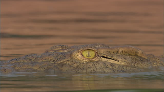 Nile crocodile (Crocodylus niloticus) swims in river, Luangwa, Zambia