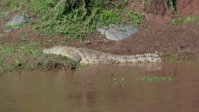 nile crocodile & three-banded plover on river bank, maasai mara, kenya, africa - symbiotic relationship stock videos & royalty-free footage