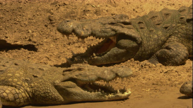 nile crocodiles bask in the sun on a riverbank. available in hd. - sunbathing stock videos & royalty-free footage